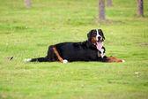 Berneński pies pasterski — Zdjęcie stockowe