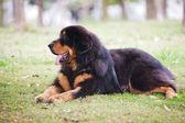 Mastif tybetański, pies — Zdjęcie stockowe