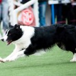 Border Collie dog running — Stock Photo #8487607
