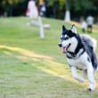 Alaskan Malamute dog running — Stock Photo #8487852