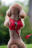 Pé de cachorro poodle pequeno — Foto Stock