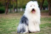 Antiguo perro pastor inglés — Foto de Stock