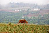 Cattle in wheat field — Stock Photo