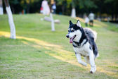Alaskan Malamute dog running — Stock Photo