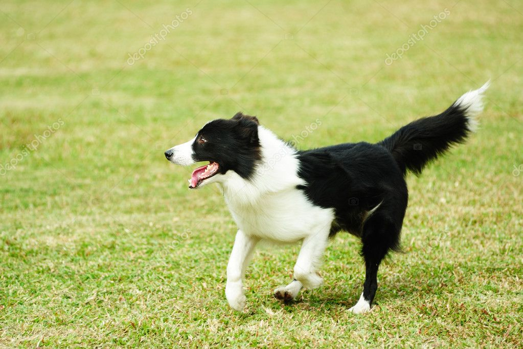 Border collie dog running on the lawn — Stock Photo #9185923