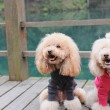 Two poodle dog standing — Stock fotografie
