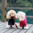 Two poodle dog standing — 图库照片