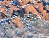 Biały pelikan latające trójkąty — Zdjęcie stockowe