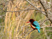 Kingfisher — Stockfoto