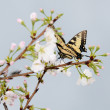 Butterfly on Cherry Blossoms — Stock Photo
