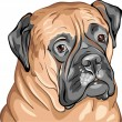 Stock Vector: Vector closeup portrait of dog breed Bullmastiff