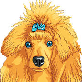 Vector color sketch of the dog red Poodle breed — Stock Vector