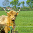 Bull with large horns  — Stock Photo