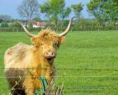 Stier met grote hoorns — Stockfoto