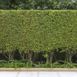 Green leaves wall — Stock Photo