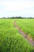Green farm rice — Stock Photo