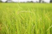 Paddy rice field — Stock Photo