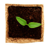 Sprout of pepper — Stock Photo