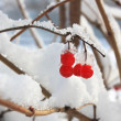 Ash berries in snow — Stock Photo