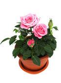 Rose in ceramic pot — Stock Photo