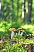 在苔藓上蘑菇橙色帽牛肝菌 — 图库照片
