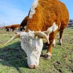 Brown white cows on a farmland — Stock Photo
