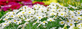 Small sunny chamomile flowers — Stock Photo