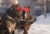 Atları çifti — Stok fotoğraf