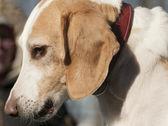 Beagle harrier puppy — Stock Photo
