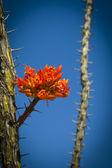 Desert vegetation flower — Stock Photo