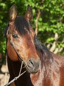 Portrait of cute bay horse — Stock Photo