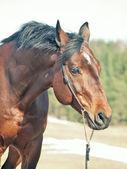 Portret van baai paard in voorjaar veld — Stockfoto