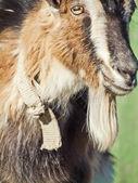Portrait of black and white goat closeup — Stock Photo