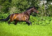 Baía cavalo esportivo em liberdade a trotar — Foto Stock