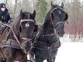 Potraits of couple black trotters — Stock Photo