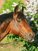 Portrait of beautiful Trakehner stallion — ストック写真