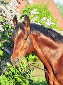 Portrait of amazind shine trakehner stallion near flower — Stock Photo