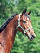Portrait of beautiful bay sportive mare — ストック写真