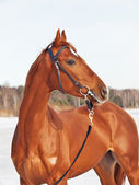 Beautiful young red horse in snow gulf — Foto Stock