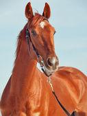 портрет красивых молодых красный конь — Стоковое фото