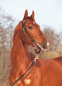 Portrait of beautiful young red horse — Stock Photo