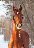 Winter portrait of beautiful young red horse — Photo