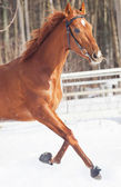 Galloping red horse in snow field — Stock Photo