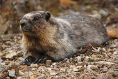 Canadian Marmot — Stock Photo