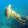 Jellyfish in mediterranean sea — Stock Photo