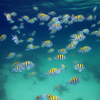 School of sergeant-major fish — Stock Photo #8757942