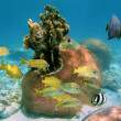 Hard coral with fishes — Stock Photo