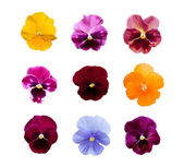 Pansy flowers isolated on white background — Stock Photo