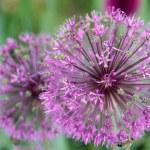 Onion flower decoration, Latin. Allium hollandicum — Stock Photo #8752053