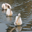 Eastern White Pelican — Stock Photo